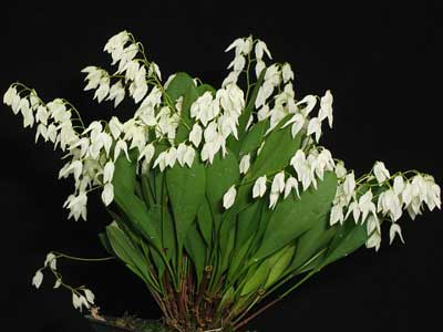 Pleurothallis pterophora
