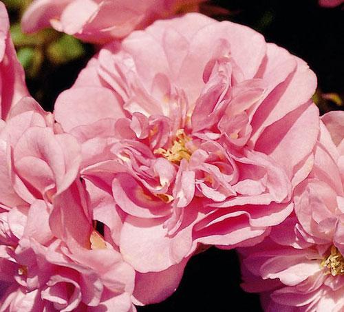 Rose Pearl Mirato