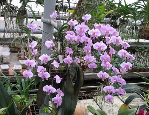 Как поливать орхидеи?