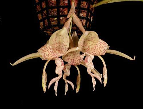 Stanhopea haseloviana