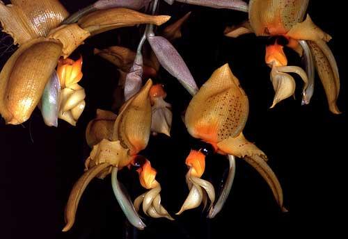 Stanhopea nigripes