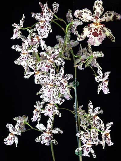 Wilsonara Vernal Aura 'Black Perfume'